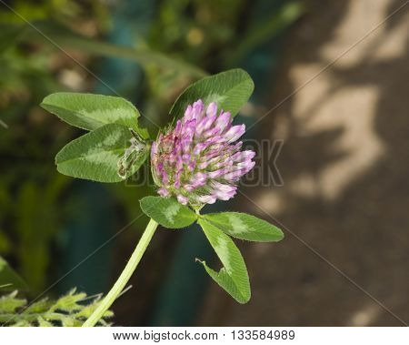 Flower of Red Clover Trifolium pratense with bokeh background macro selective focus shallow DOF