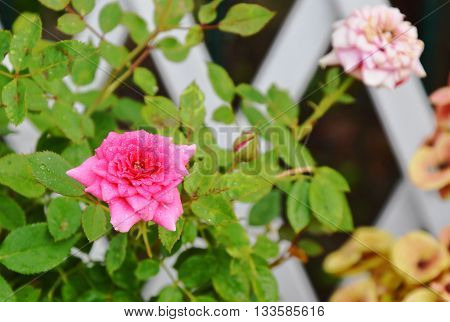 pink pygmy rose in the garden home