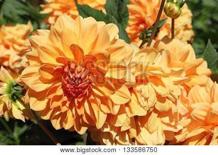 Decorative golden Dahlia; Dahlia is a very popular ornamental plant, that is cultivated in various colours and shapes.