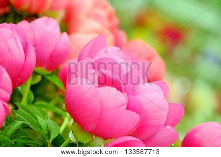 The big beautiful full-blown pink flower peony close up