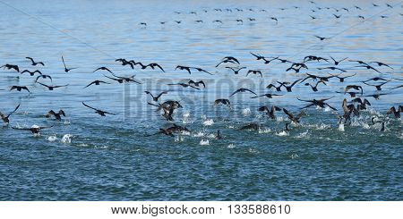 Flock of the Cape cormorants or Cape shag (Phalacrocorax capensis) catch a fish in Luderitz bay at sunrise Namibia Africa