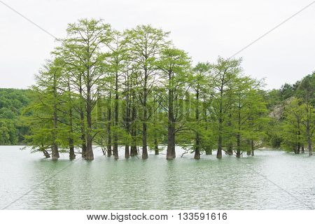 Cypress Swamp Growing Out Of Water In The Mountain Lake