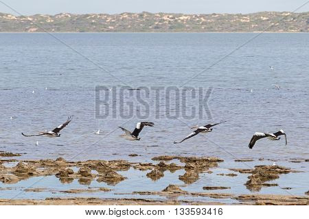 Large Australian Pelican water birds flying near waterfront at Coorong national park in South Australia
