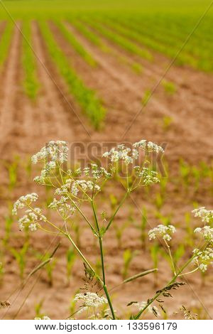 Blooming Cumin With Small White Flowers In Front Of Corn Field