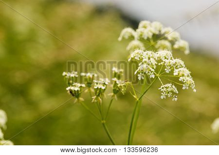 Blooming Cumin With Small White Flowers On Summer Meadow