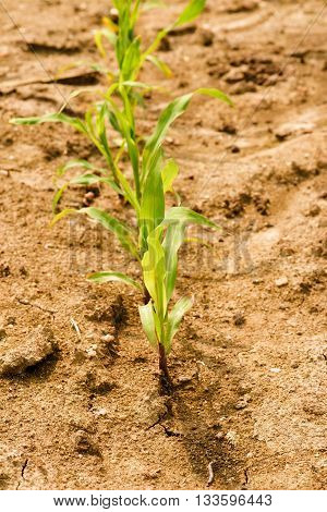 Line Of Corn Green Seedlings On Dry Field With Small Stones