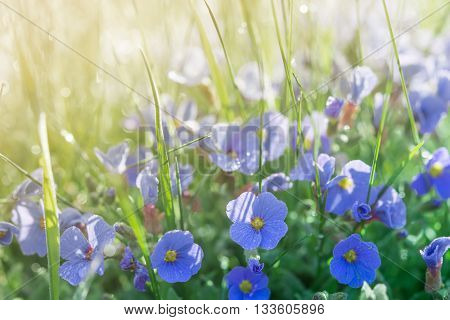 Sunshine Summer Lawn With Little Blue Flowers And Rain Drops