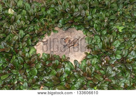 Frame of dense foliage plants around a wooden saw cut