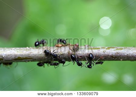 Ants and plant lice on a small branch.