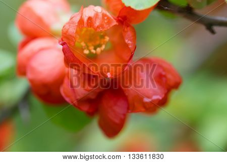 Red flowers of the Japanese quince with water drops. Flowers have blossomed after a rain foliage light green. Close up small depth of sharpness