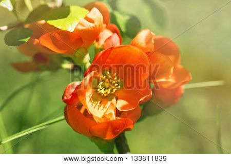 The red flowers of the Japanese quince lit with the sun right. Flowers have blossomed foliage light green. Close up small depth of sharpness