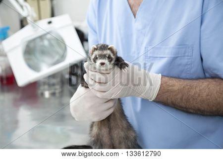 Cute Weasel Held By Male Doctor