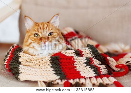 Cute curious ginger cat sleeps in striped knitted scarf. Fluffy pet is dozing in warm clothes. Cozy home background.