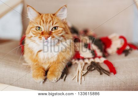 Cute curious ginger cat sleeps in striped knitted scarf. Fluffy pet is dozing in warm clothes. Cozy home background. Place for text.