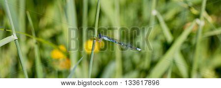 Female common bluetail damselfly - Ischnura heterosticta