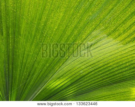 A portion of a large palm leaf illumined by sunlight streaming into the conservatory at the University of Michigan Matthaei Botanical Gardens creates an intriguing tropical abstract. Ann Arbor Michigan.