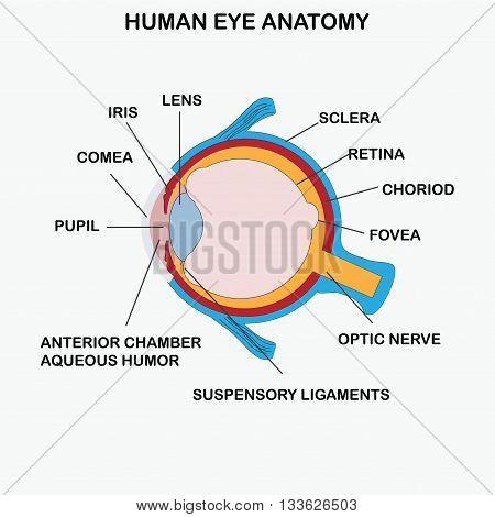 Anatomy of human eye  on white background, vector illustration.