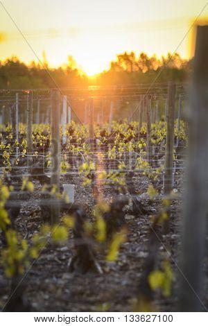 Into Vineyards Of Beaujolais During Sunrise, Burgundy, France