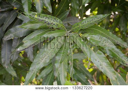 close up anthracnose on green mango leaves