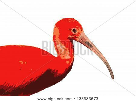 Scarlet ibis - Eudocimus ruber - is a species of ibis in the bird family Threskiornithidae. Colored vector graphic. Bird in picture.