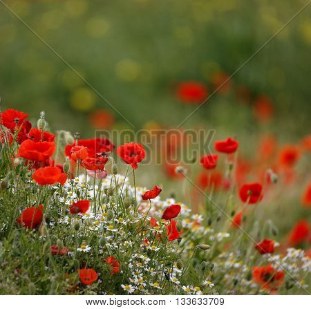 poppy field with bee  close group of poppies mixed with wild daisies, oil seed rape and hedge parsley