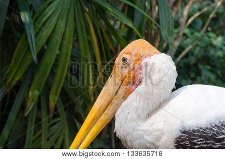 The Adult Endangered Milky Stork.