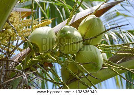 fresh green coconut tree in nature garden , Cocos nucifera