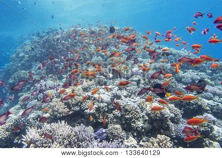 coral reef with shoal of exotic fish anthias at the bottom of tropical sea underwater