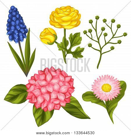 Set of garden flowers. Decorative hortense, ranunculus, muscari and marguerite. Objects for decoration wedding invitations, romantic cards.