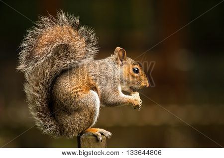 A squirrel standing on its hinds while nibbling