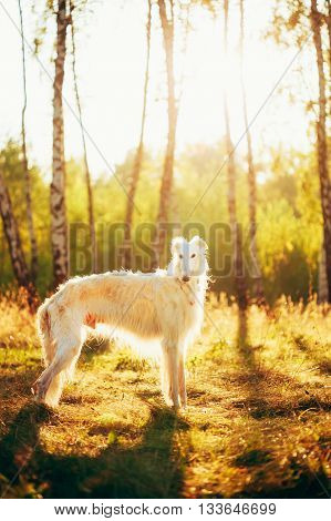 White Russian Dog, Borzoi in Summer Evening, Sunset Sunrise Forest.