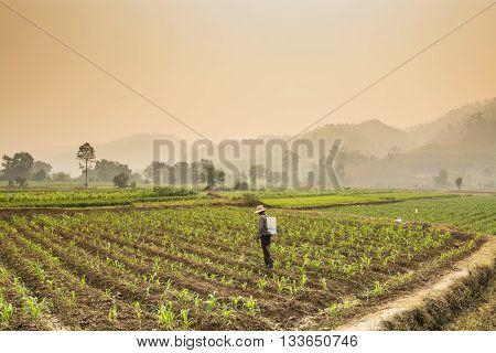 Farmers spraying pesticides in corn farm with beautiful landscape