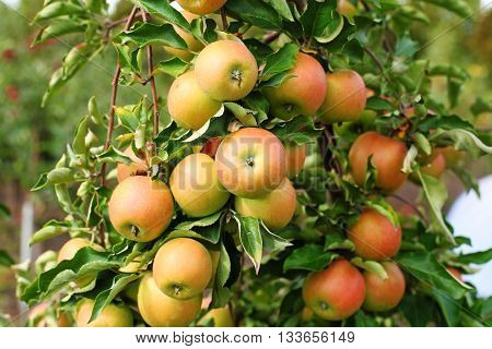 Red jonagold apples on apple tree branch