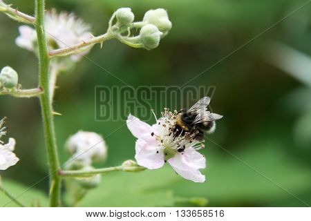 Hungry Bumblebee On A Blooming Flower