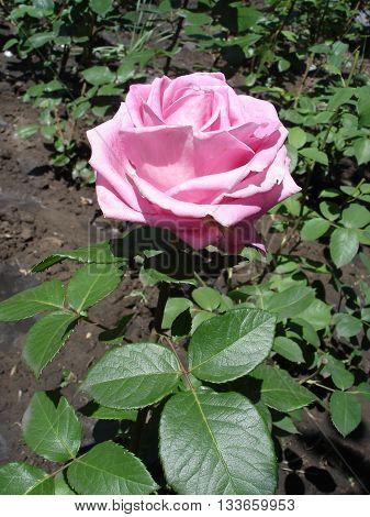One blue rose flower 'Blue Parfum' .