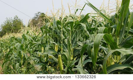 Corn Field with a lot of plants and the bright sky above