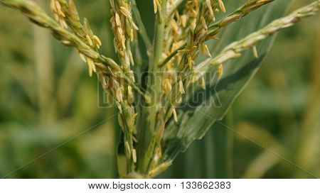 Detailed Closeup Shot of Corn Blossom in front of Corn Field