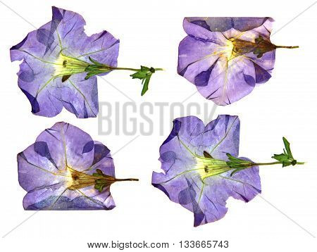 dried fall burgundy flower viola isolated elements white background for scrapbook object roughage autumn leaf.