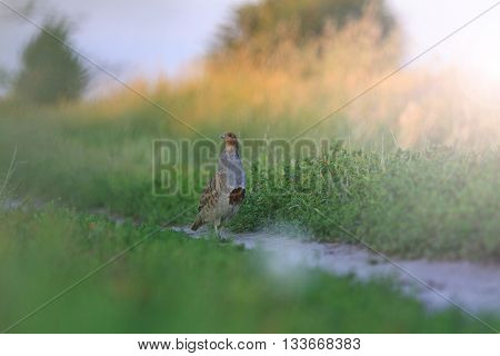 gray partridge on a rural road, summer evening, sunset with sunny hotspot