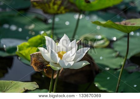 White lotus flower with green leaf background. Dong Thap, VietNam
