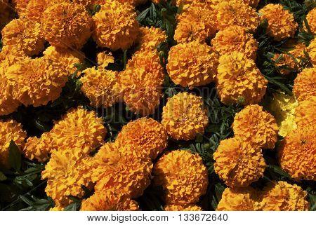 Background of Bright Yellow Cracker Jack Marigolds