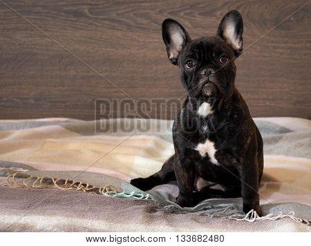 Portrait of a thoroughbred dog - a French bulldog. Dog sitting on a bed. Background wooden board. black Dog