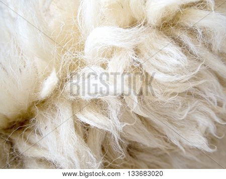 Soft and fluff of long sheep wool