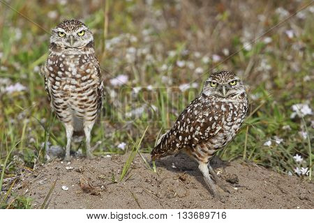 Burrowing Owls Standing On The Ground