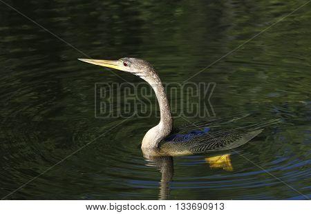 Anhinga (Anhinga anhinga) swimming in a water