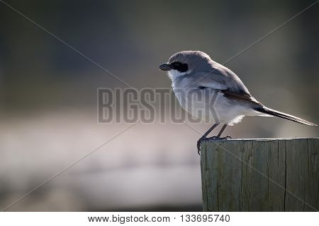 Loggerhead shrike perched on a wooden post