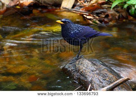 Blue whistling thrush (Myophonus caeruleus eugenei) found in Indian subcontinent and Southeast Asia