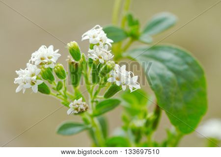 Stevia  plant (Stevia rebaudiana)/ candyleaf/sweetleaf or sugarleaf ; The native shrub plant of South America  that use as a resource of sweetener in food, drink  and medicine