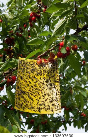 Yellow sticky fly paper with a lot of flies on it hanging on a cherry tree