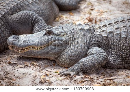 Close up of alligator head and front legs